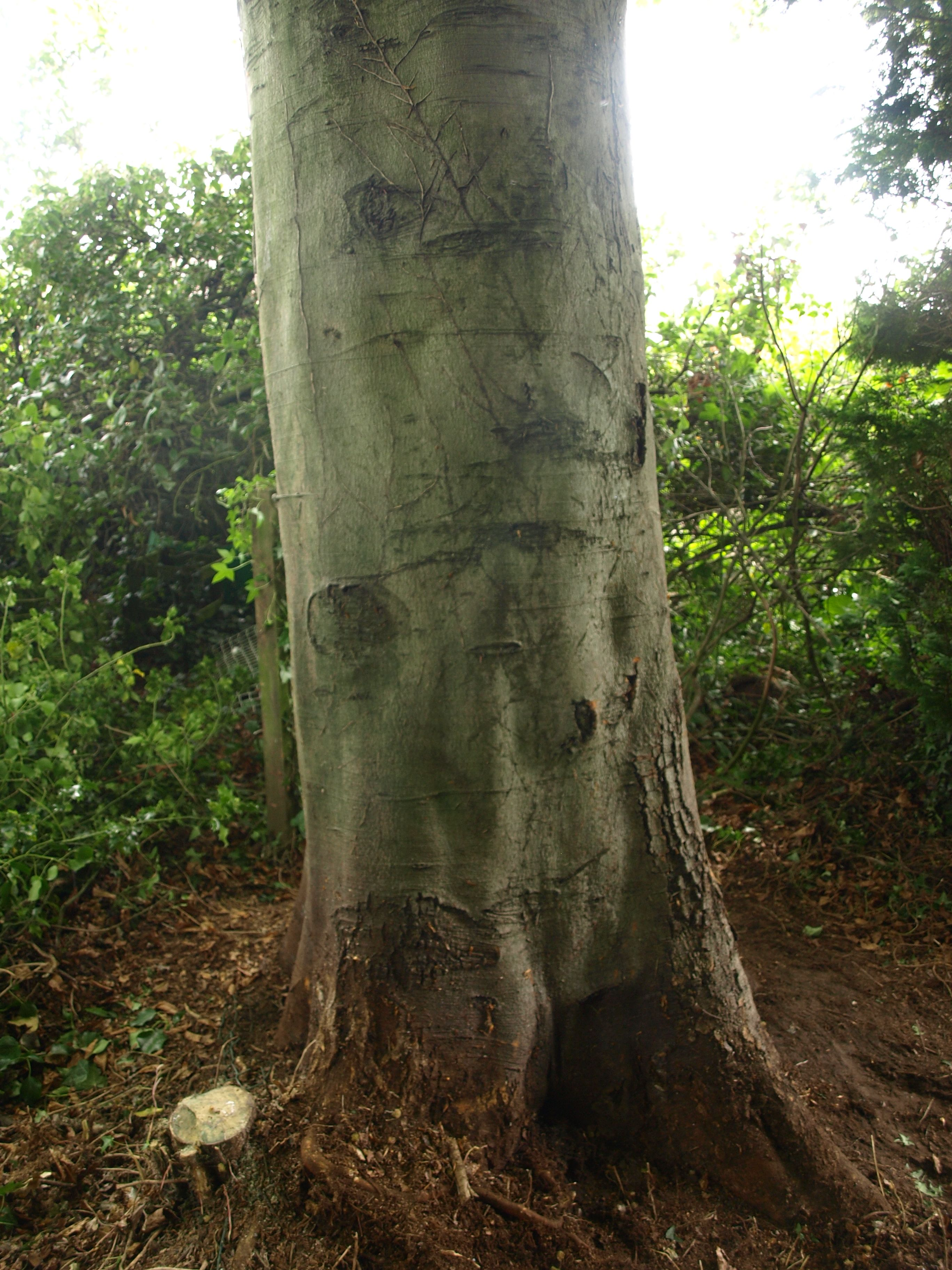 Typical Beech Trunk Note The Smooth Grey Bark With Images
