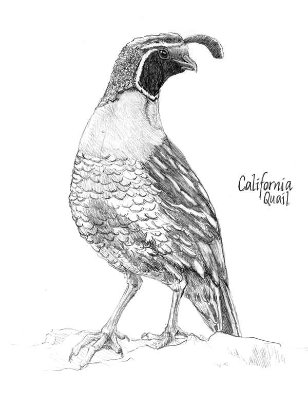 Quail Beautiful California Valley Quail Coloring Page