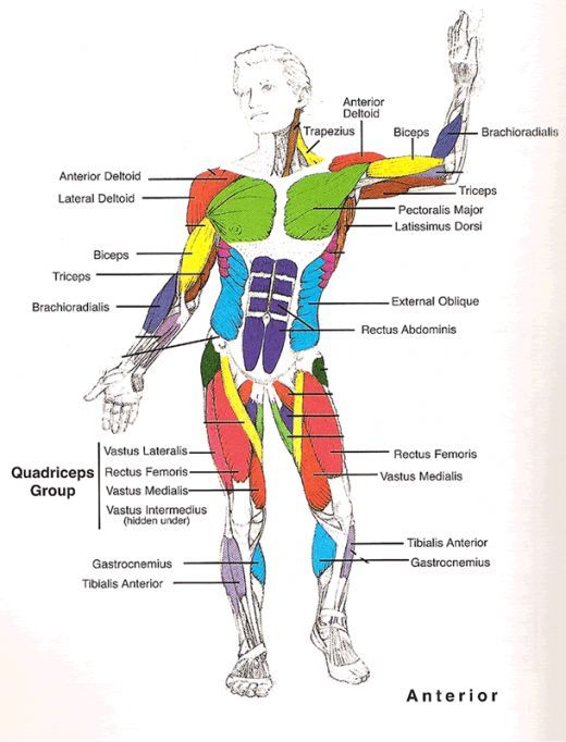 Muscles Diagrams: Diagram of muscles and anatomy charts
