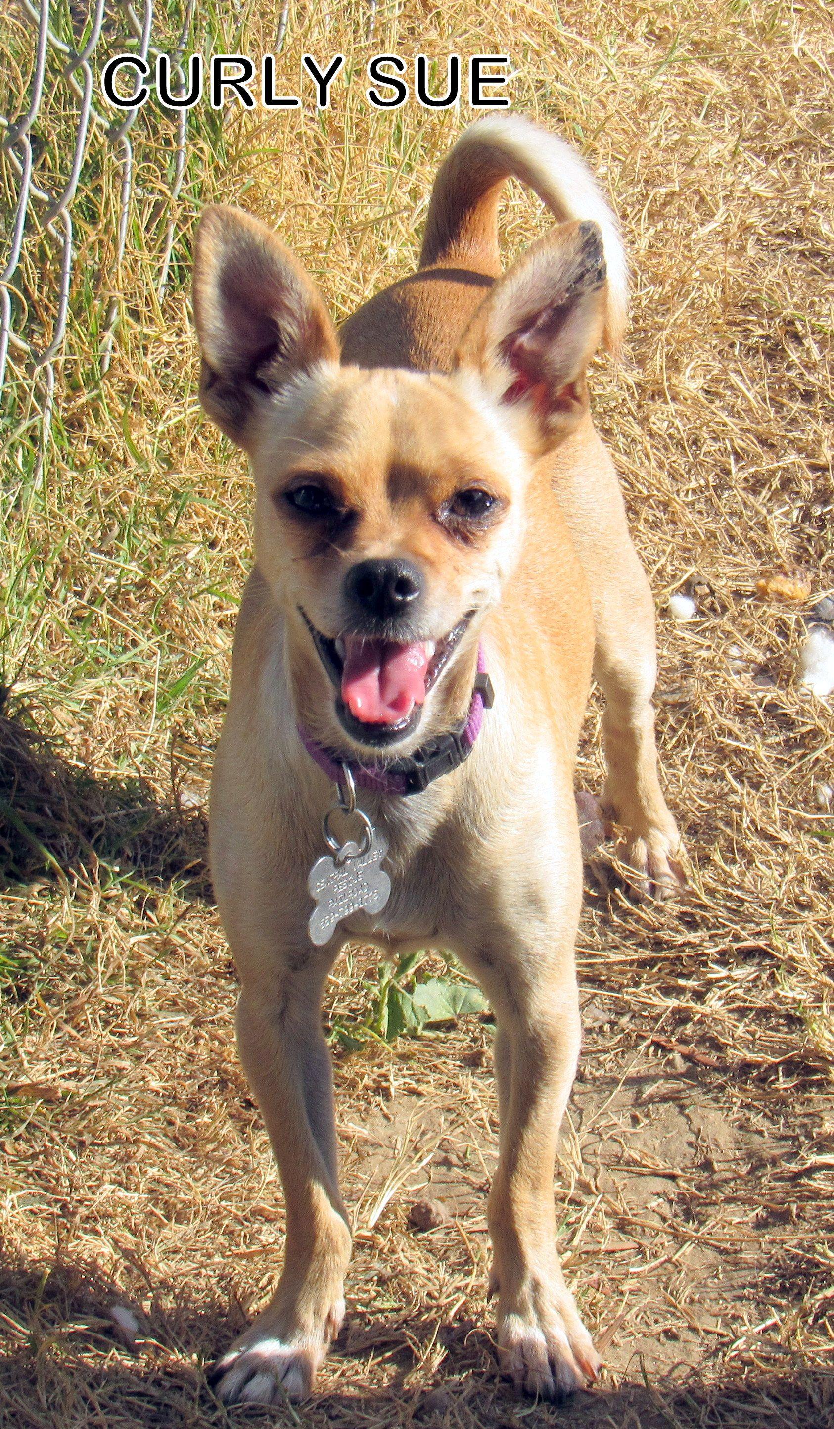 Chug dog for adoption in lindsay ca adn764701 on