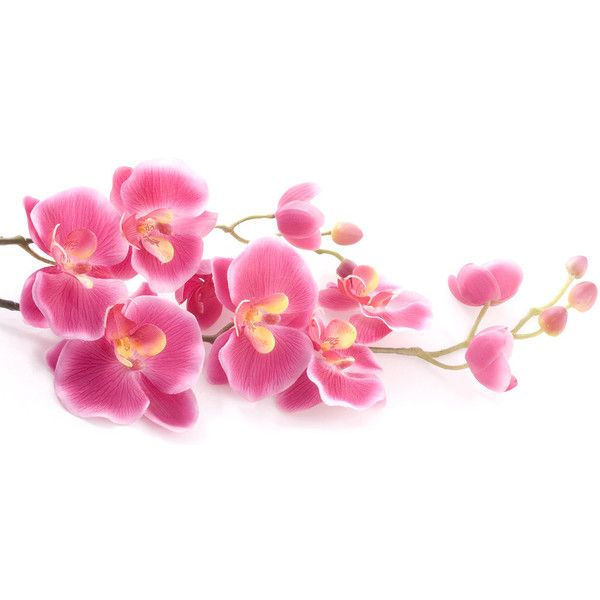 White Orchid Water Pink: Pink Orchid On A White Background Liked On Polyvore