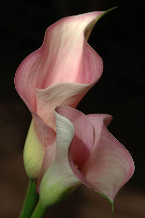 Calla Lilies Beautiful Flowers Calla Lily Calla Lillies