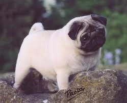Pin On In Desperate Want Of A Pug