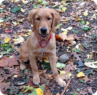 Cheshire Ct Golden Retriever Meet Oliver A Puppy For Adoption