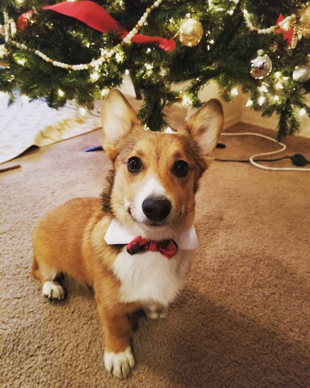 The Queens corgis — Our first Christmas together! at...