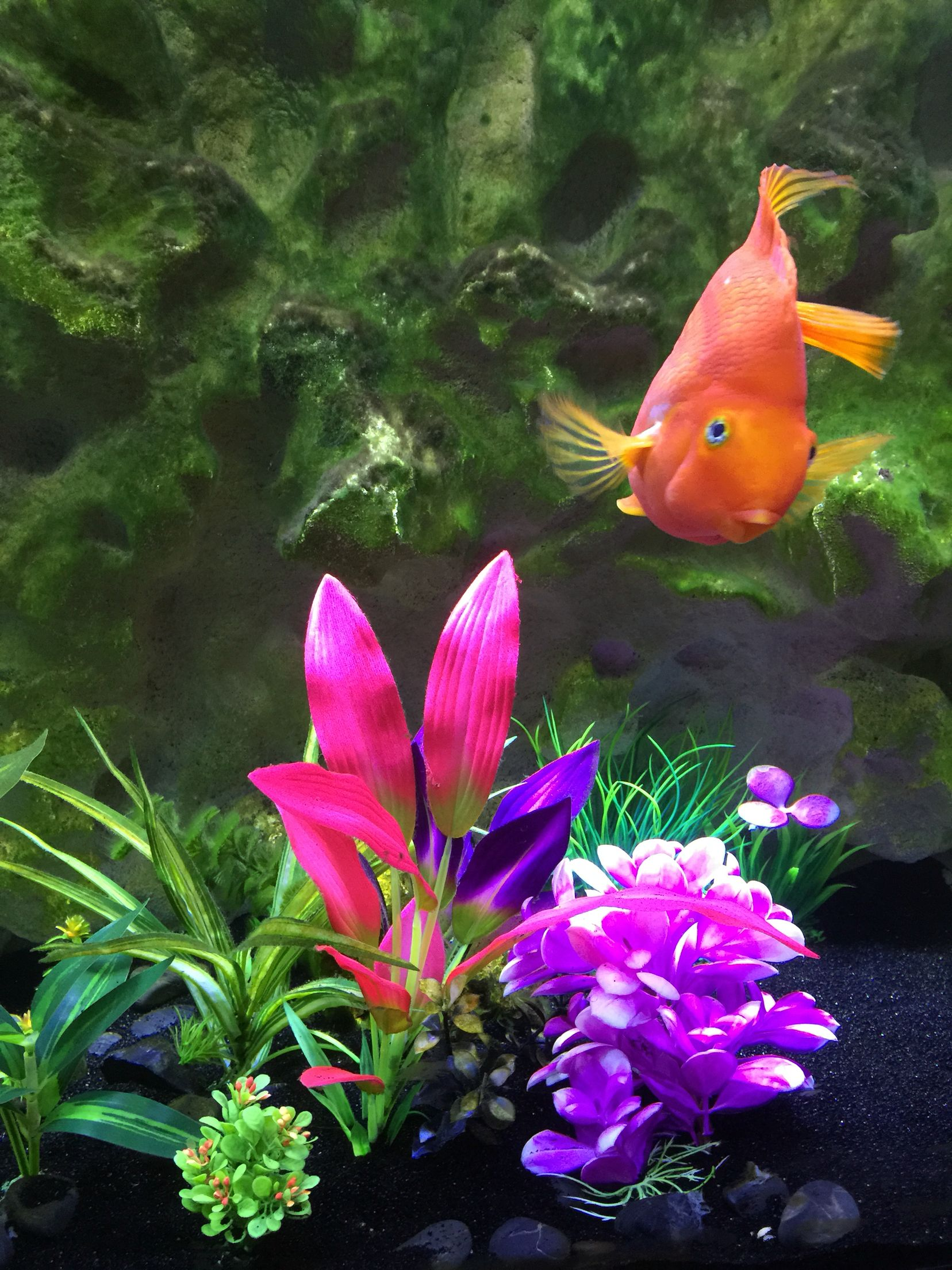 My beautiful fresh water Blood Parrot fish is 9 years old | Amazing ...