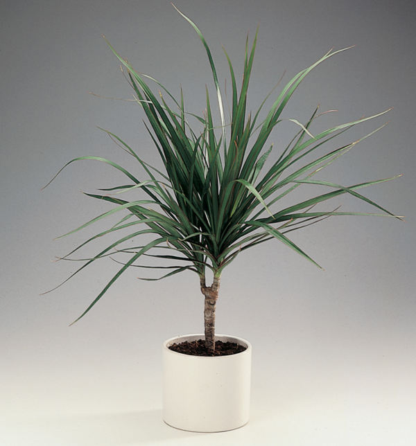 Dragon Tree Care Facts Worth Knowing And Beautiful Pictures Beautiful Dragon Facts Knowing Pictures Wor Dragon Tree Plant Dragon Tree Care Dragon Tree
