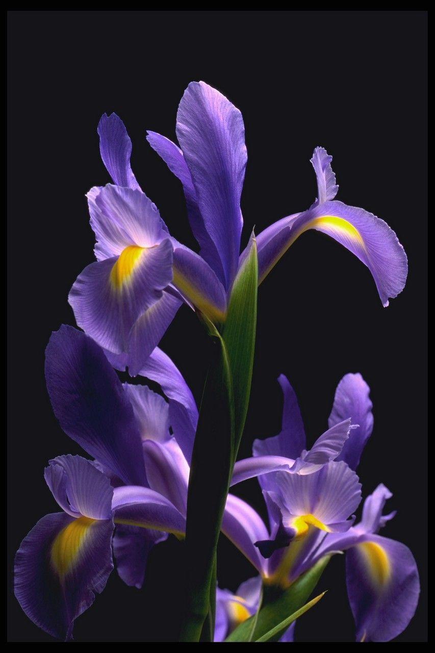 Wild Iris In 2020 Iris Flowers Flora Flowers Strange Flowers