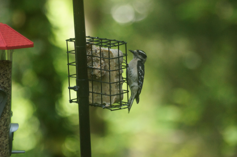 Hairy Woodypecker at my feeder Outdoor decor, Decor