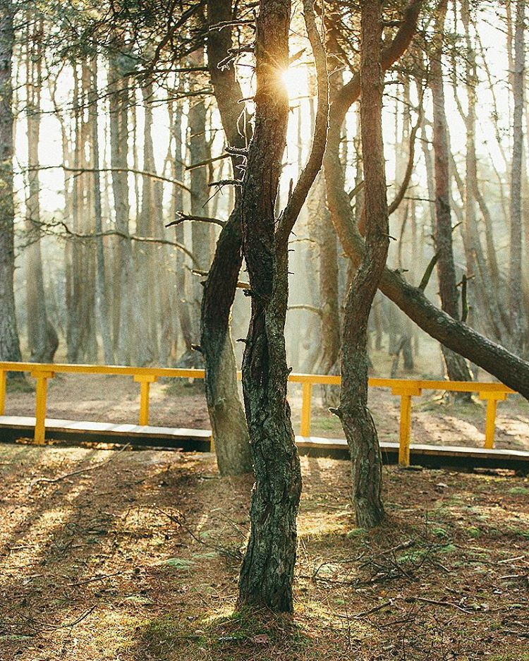 #forest #dancingforest #kaliningrad #kaliningradregion #калининградскаяобласть #лес #танцующийлес #свет