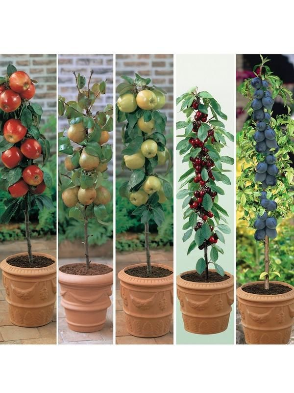 Very Womens Mens And Kids Fashion Furniture Electricals More Fruit Trees Uk Dwarf Fruit Trees Miniature Fruit Trees