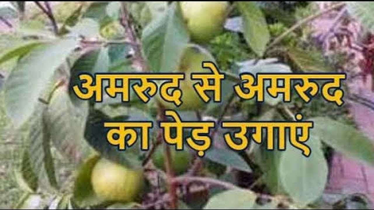 How To Grow Guava From Seeds Hindi Gardening Videos