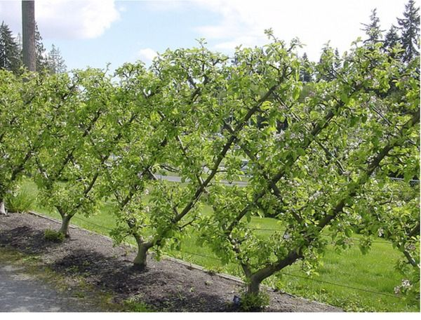 Increasing Your Fruit Yield With Espaliered Trees Also Good Natural Fencing