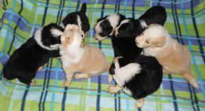 Dogzonline Border Collie Puppies For Sale Australia Collie