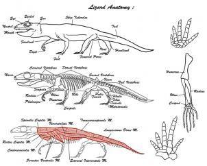 How To Draw Lizards Step 1 Anatomy Reference Lizard Anatomy