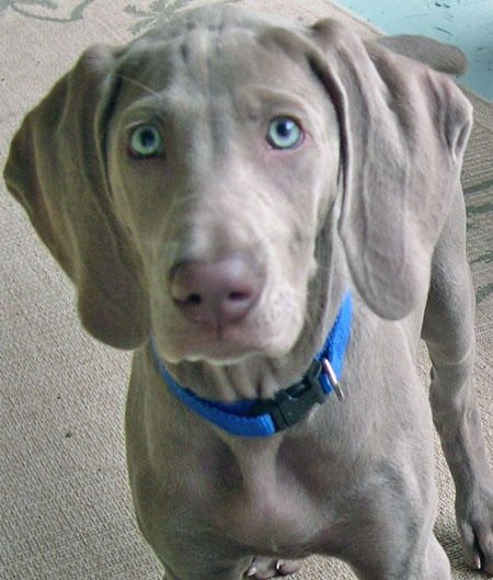 Bonnie Blue And Butler The Weimaraners Puppies Daily Puppy