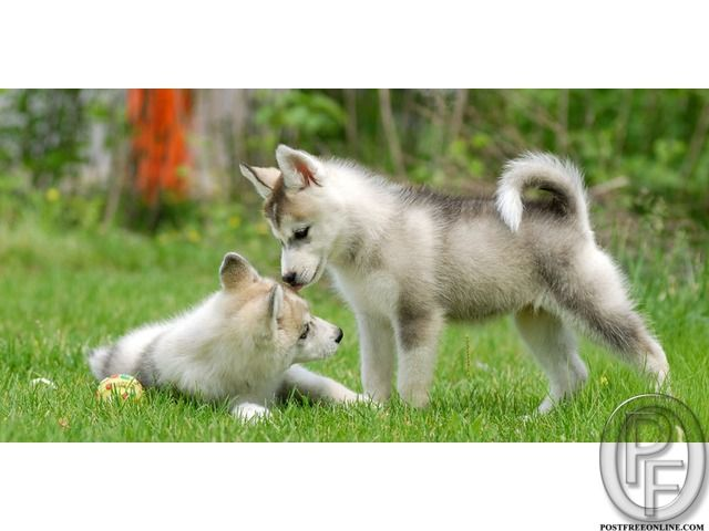 Siberian Husky Puppies For Sale At Best Price In Mumbai Maharashtra