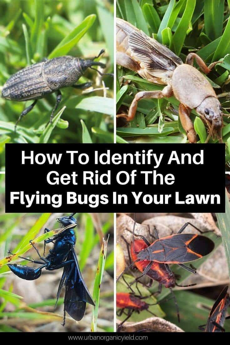 How To Identify And Get Rid Of The Flying Bugs In My Lawn