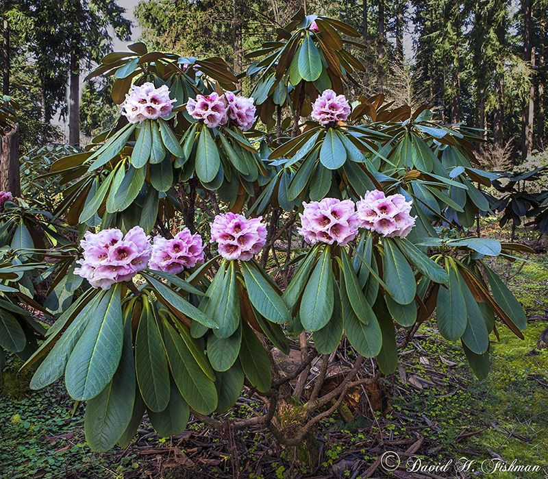 Explore Botanical Gardens And More! All In A Row, Itu0027s Natural Growth! This  Is Rhododendron Rothschildii. Rhododendron Species