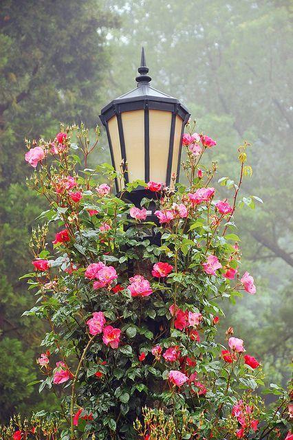 Un farol y rosas trepadoras...