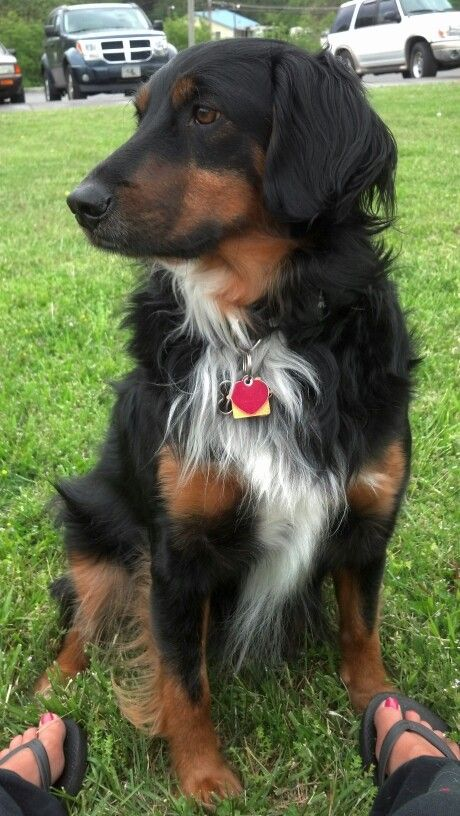 Rottweiler Collie Mix This Dog S Long Hair Definitely Resembles