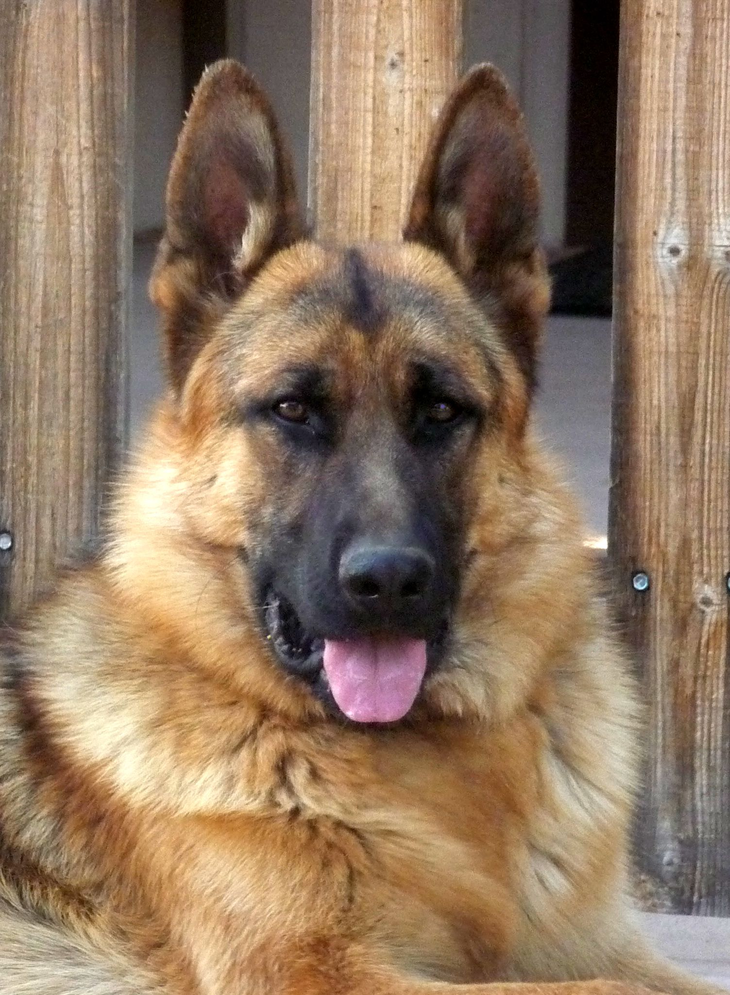 We Have Been Happy Owners And Breeders Of German Shepherd Dogs