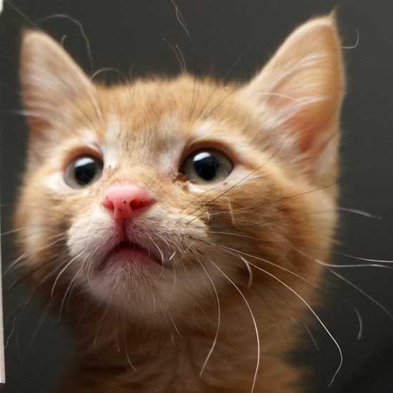 Adopt A Pet Baby Cats Cat Adoption Orange Tabby Cats