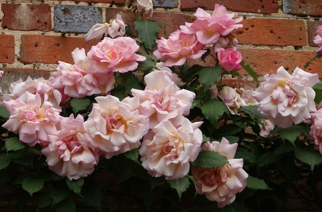 'Lady Waterlow', cl. h.t. Nabonnand.  8-12 ft.  Organic Garden Dreams: Mottisfont Abbey - a Rose Lover's Paradise V