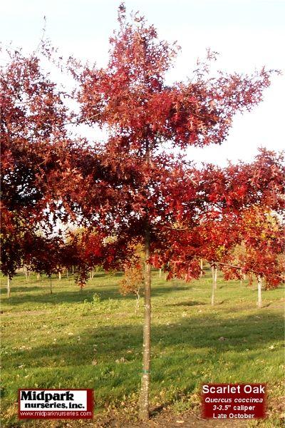 Quercus Coccinea Scarlet Oak Midpark Nurseries Wisconsin