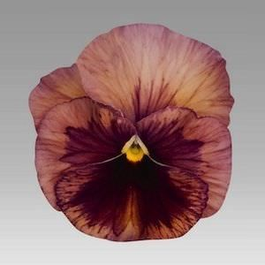 Pin On Plant Flower Characteristics