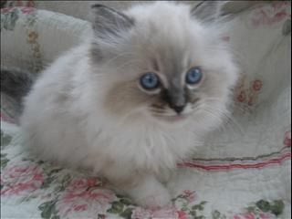 Purebred Ragdoll Kittens For Sale In Traralgon Vic Purebred Ragdoll Kittens Ragdoll Kitten Kittens Cutest Ragdoll Kittens For Sale