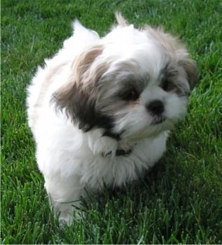 What I Learned From My Dog Sam Shitzu Puppies Shih Tzu Puppy