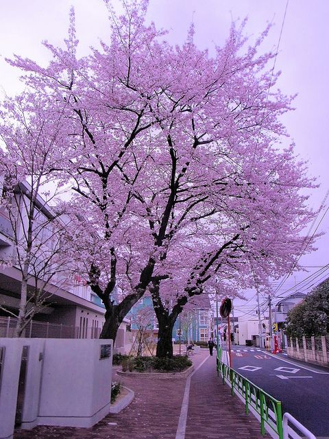 Cherry Blossom In Front Of Elementary School Beautiful Tree Beautiful Nature Blossom Trees