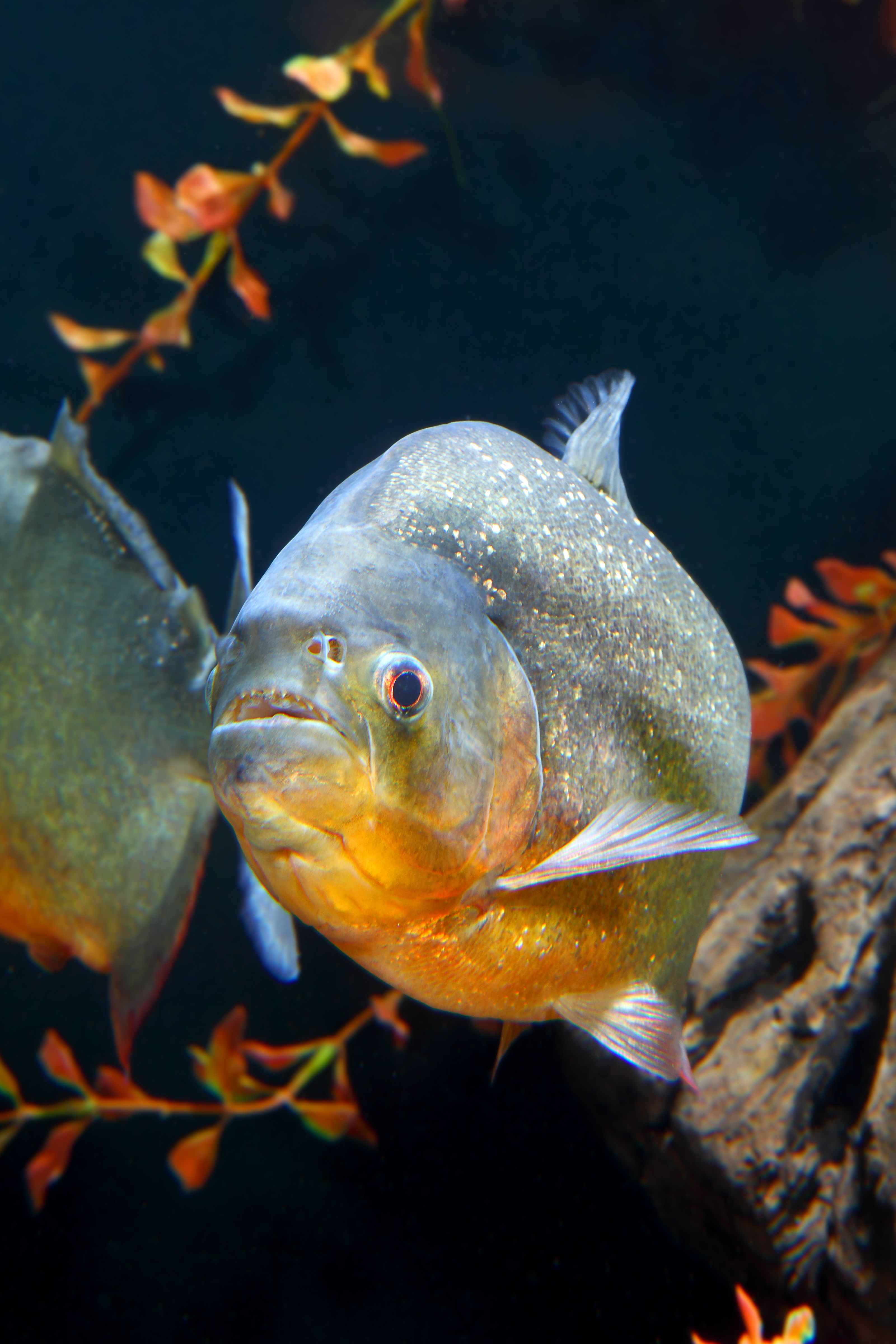 Watch A Video Of Our Red Bellied Piranhas Feeding Via Gopro