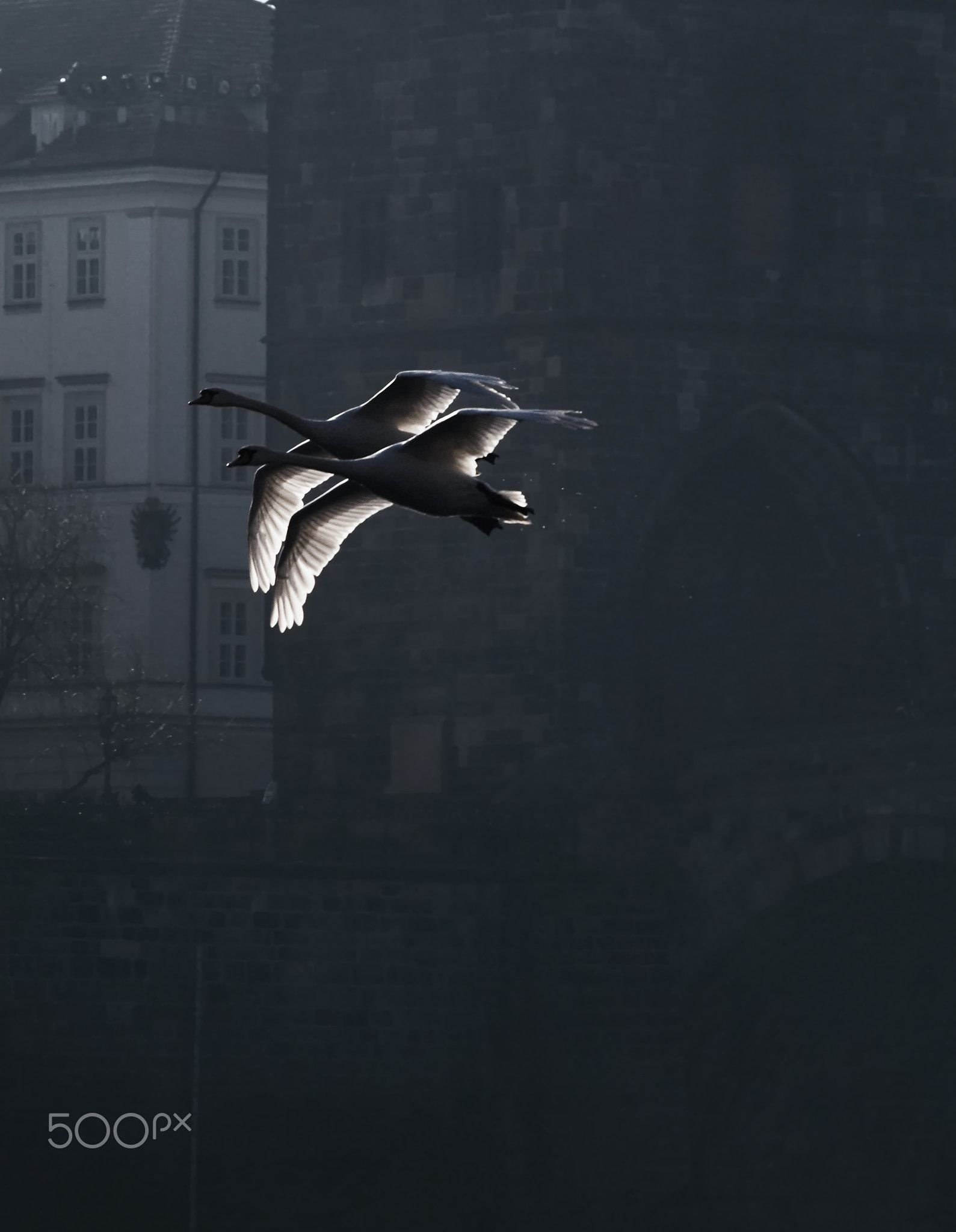 Early Spring on Vltava river in Prague - Two swans is flying over the Vltava River in Prague early morning. Charles bridge and Mostecka Tower is in the background .