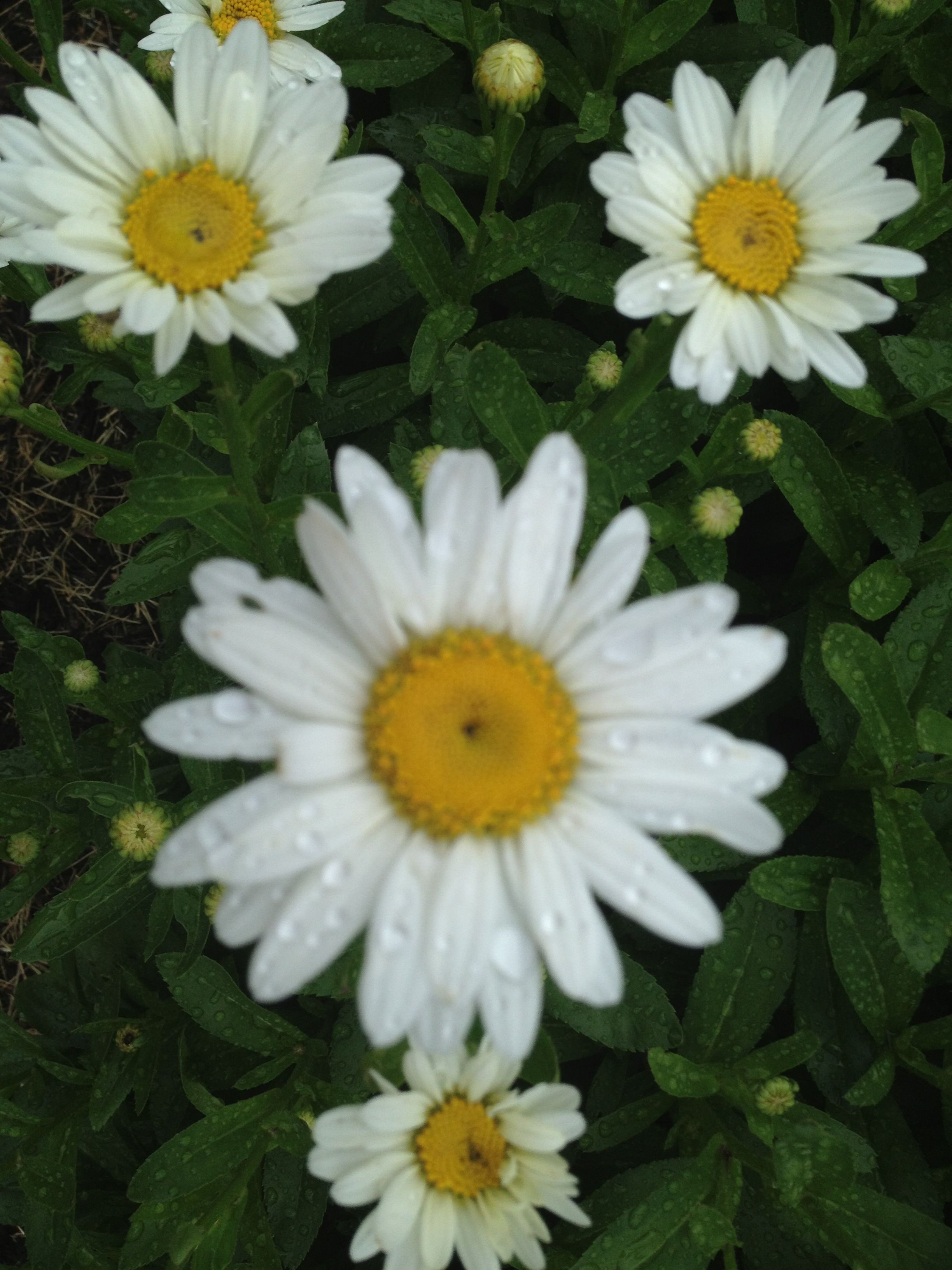 Daisies Are The Flower That When You Give To Someone You Are Sure To