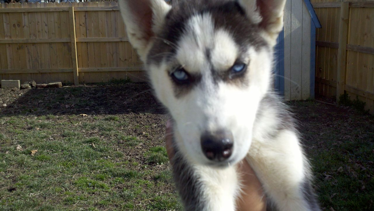 Ckc Siberian Husky Currently Does Not Have Any Puppies For Sale On