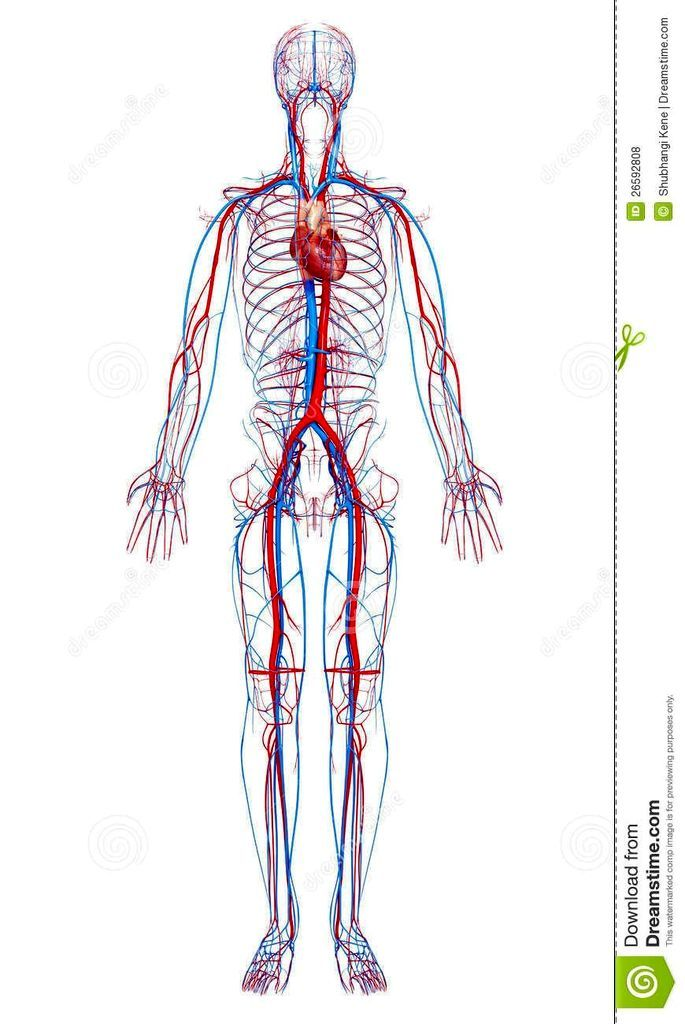 Circulatory System Human Body Circulatory System In Arm Diego