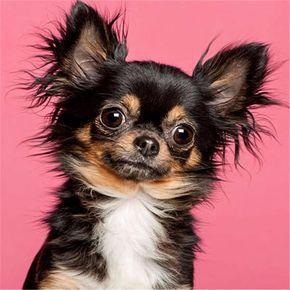 5d Diy Diamond Painting Black Tan Long Hair Chihuahua Dog Round