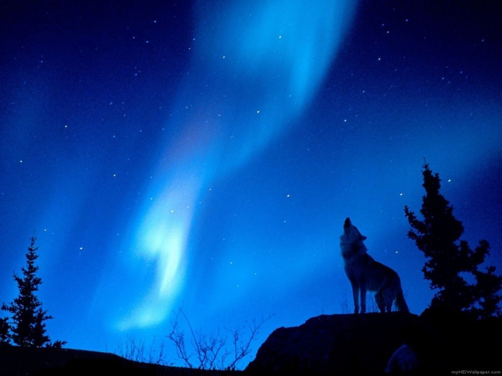 aurora boreali picture wolf howling | wolf howling, aurora borealis