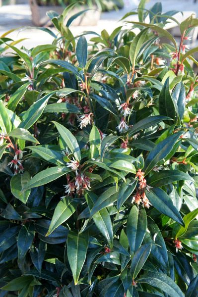 Sarcococca Iana Winter Gem Pmoore03 A New Hybrid Form S Var Digyna Purple Stem X Humilis