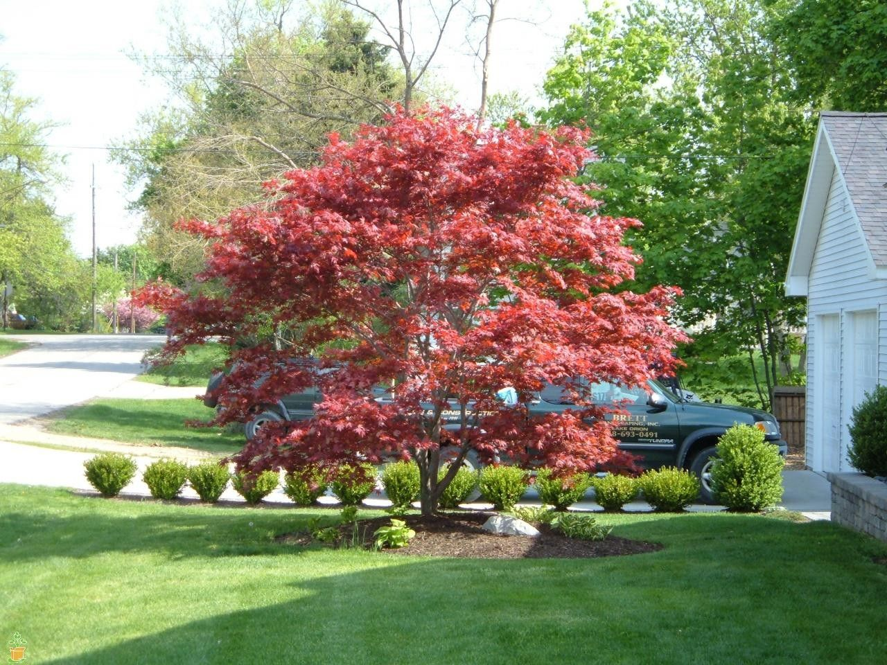 A japanese bloodgood maple is the perfect focal point to for Garden design with japanese maple