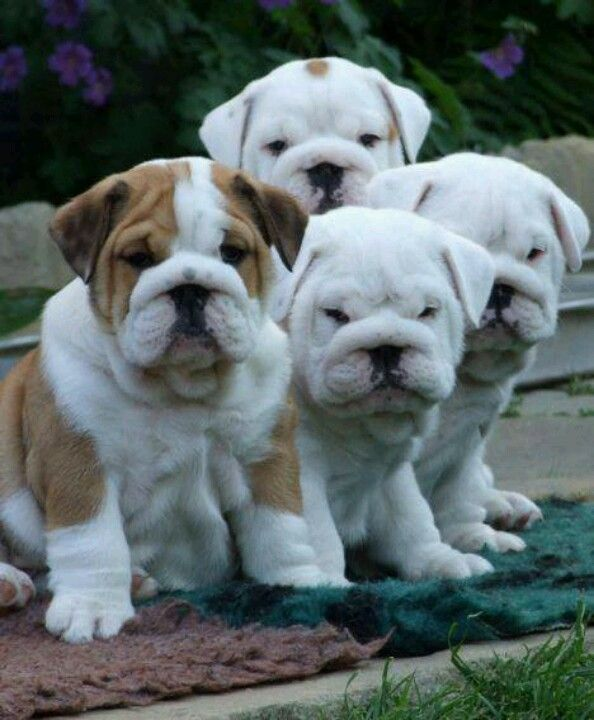I can't wait to get my bulldog hope he or she gets along with Baxter