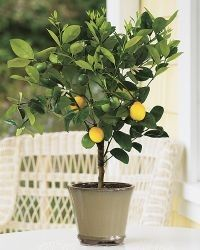 2 3 Year Old 2 3 Ft Meyer Lemon Tree Indoor Lemon Tree Lemon Tree Potted Dwarf Fruit Trees