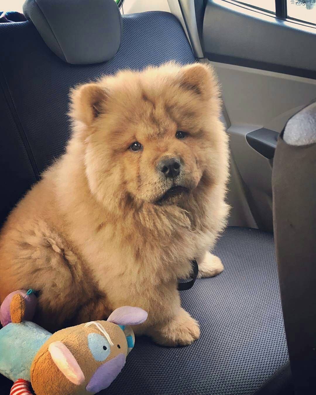 7 994 Likes 72 Comments Chowstagram Chow Chow Puppies