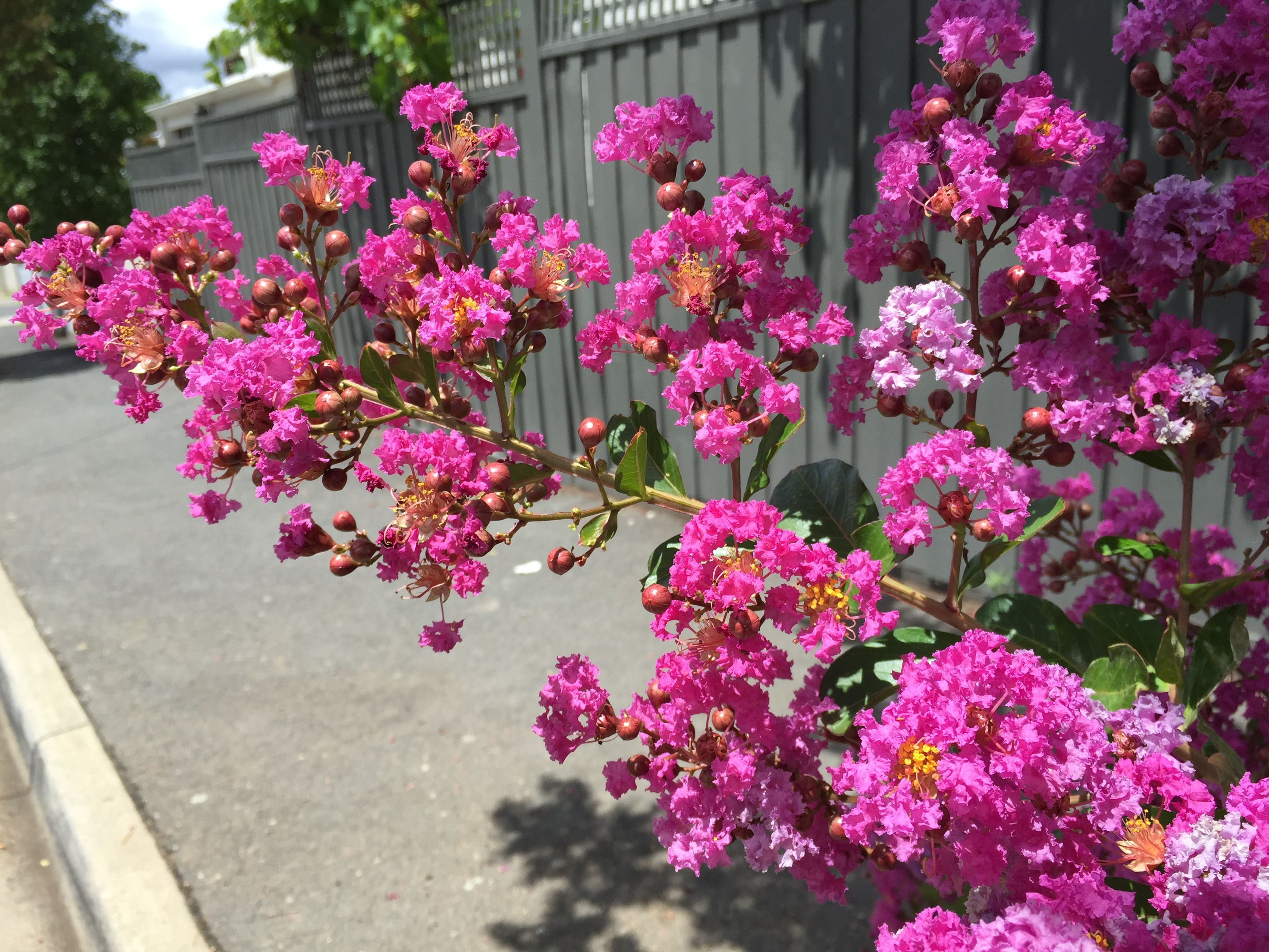 Crepe Myrtle Lagerstroemia Indica Beautiful Flowering Tree Native