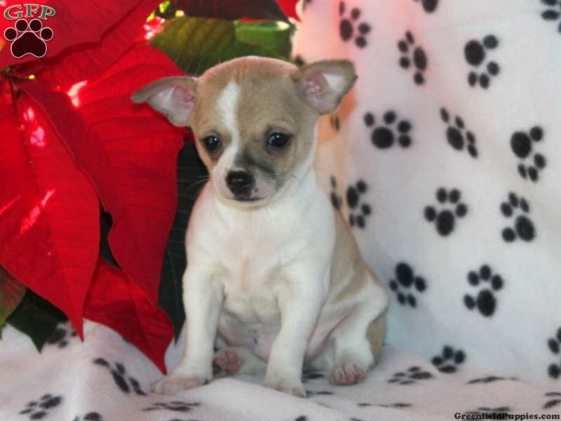 Rascal Chihuahua Puppy For Sale From Paradise Pa Wishlist