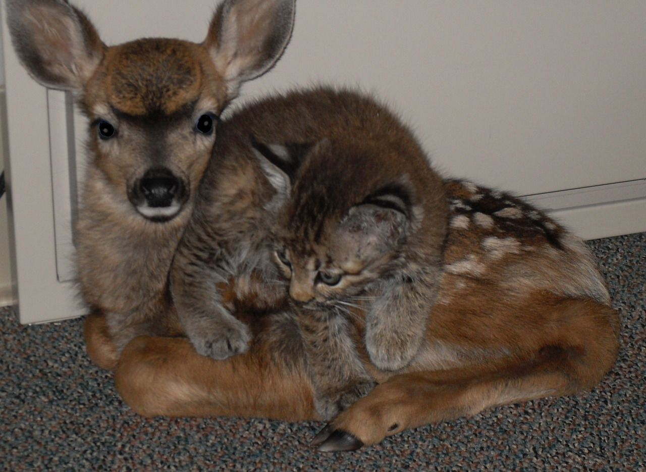 Cute Baby Reindeer And Cat Photo Cute Animals Photos Unlikely Animal Friends Animals Friendship Cute Animals