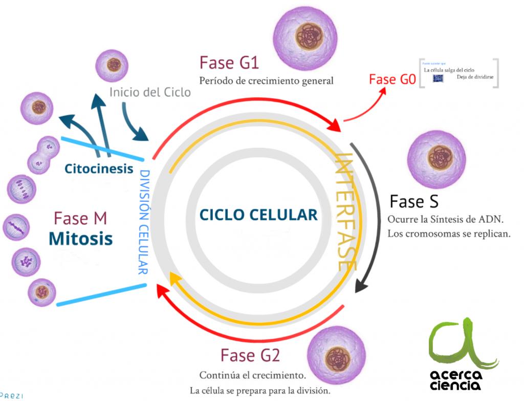 El Ciclo Celular Es Un Conjunto Ordenado De Eventos Que Culmina Con El Crecimiento De La Celula Y La Divisio Ciclo Celular Ensenanza Biologia Biologia Avanzada