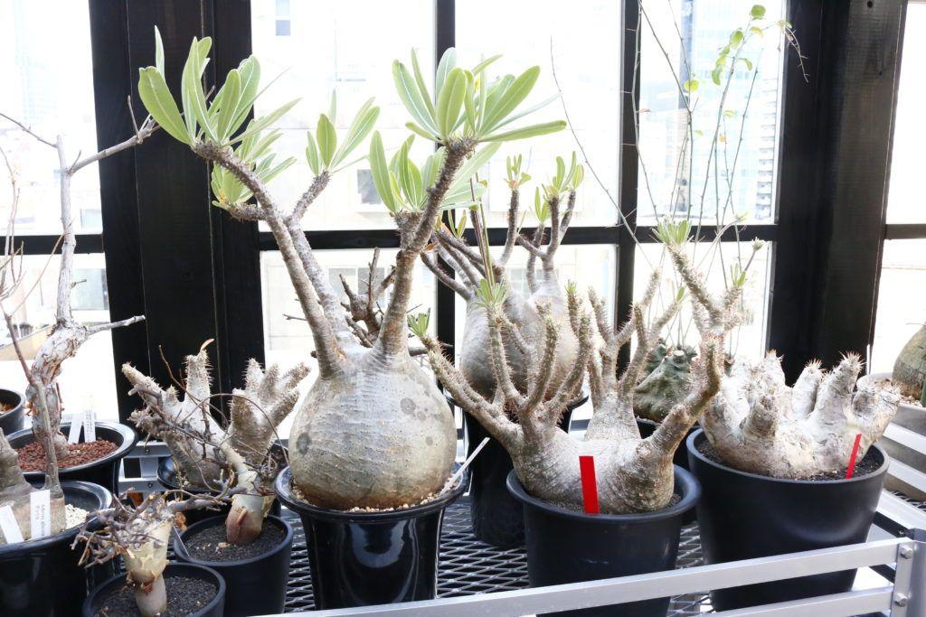 Photo of 塊根植物を知らない人たちにも、知ってもらいたいという想いがあります。